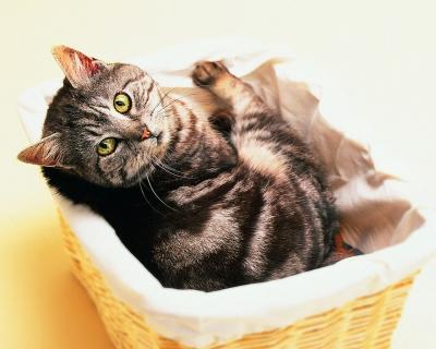 кошки,домашние кошки,поведение кошек,животные