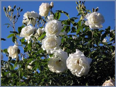 дача,роза,дачный участок,сад,уход,лето,полив,подкормка
