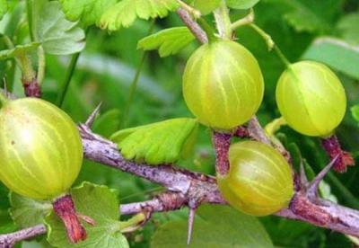 сад,дача,участок,полив,земляника,крыжовник,смородина,иалина,плодово-ягодные культуры