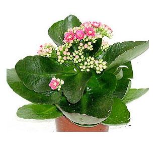 домашние цветы по знаком зодиака