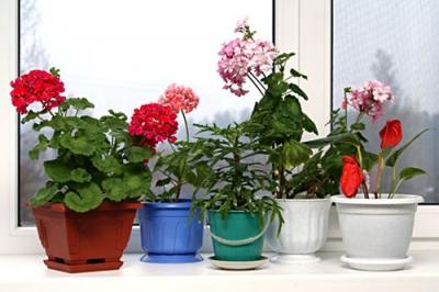 герань,фитонцидные свойства,цветы,дача,сад