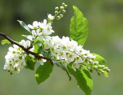 сад,дачный участок,дом,черемуха,дерево,весна