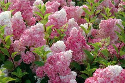 гортензия,сад,садовый участок,растение,весна