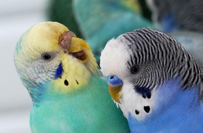 попугай,разговор,голос,учить,клетка,птица,советы