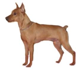 Цвергпинчер,собака,миниатюрный пинчер,порода,окрас,питание,уход,здоровье,дрессировка,характер