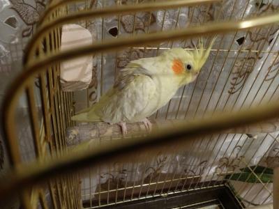 птица,клетка,попугай,корелла,пернатый,уход,кормление,содержание,выбор