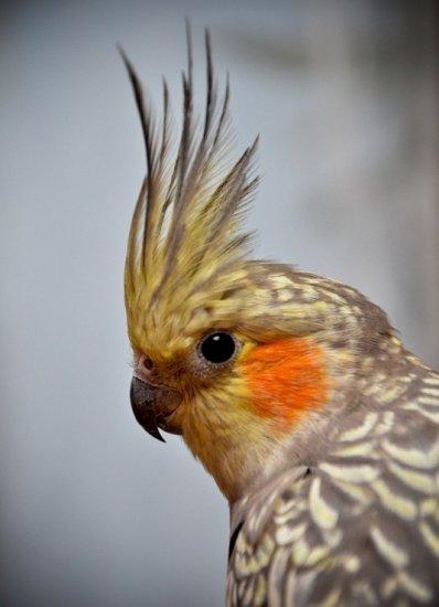 попугай,корелла,стресс,птица,клетка,шум,свет,голодание,микроклимат