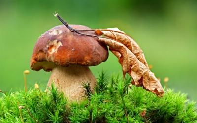 грибы,польза,блюда,белые грибы,шампиньоны,грузди,маринованные грибы,жарка,тушение