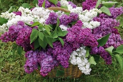 сирень,дача,сад,участок,весна,запах,сажать,уход