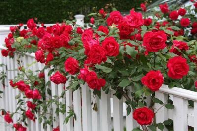 сад,дача,садовые розы,изгородь,арки,дом,участок,бордюр